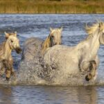 What is Camargue Famous For?
