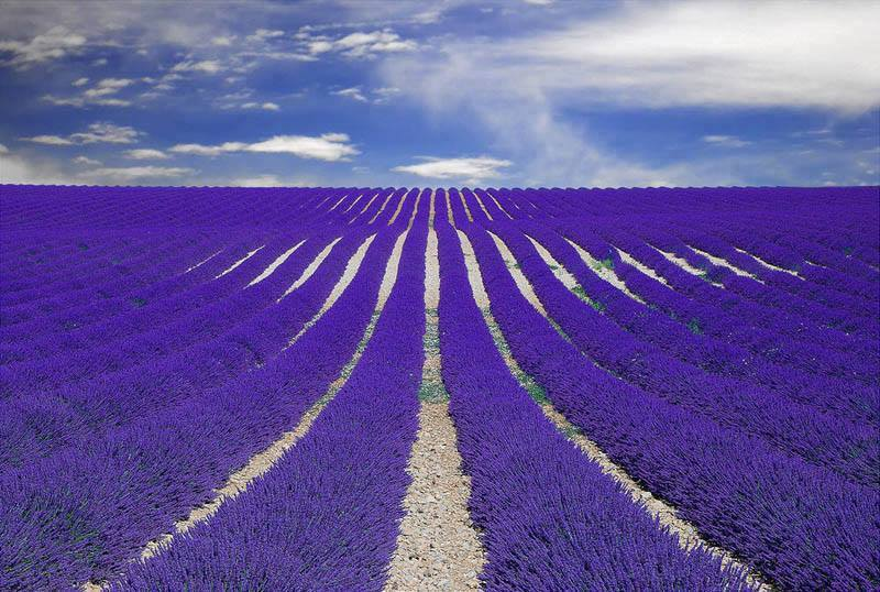 Fields of Lavender - Provence, France